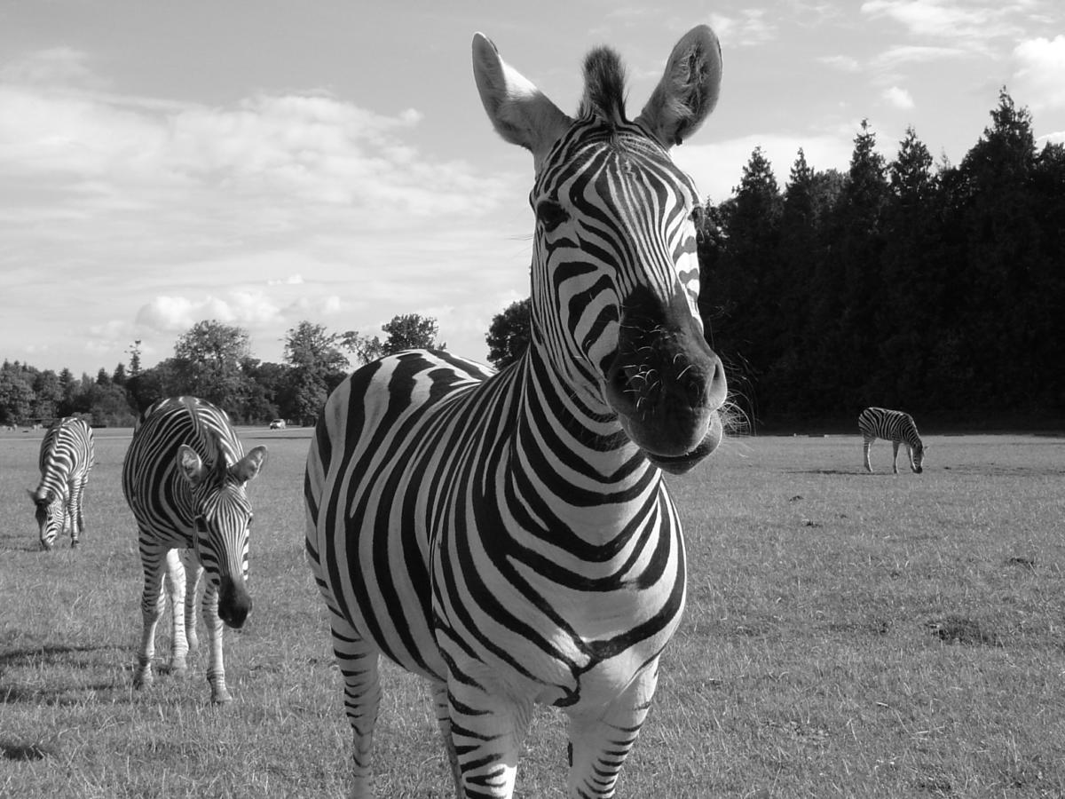 Cool shot of a couple of zebras in Knuthenborg Safari Park - from a nice trip with my in-laws, back in 2005.